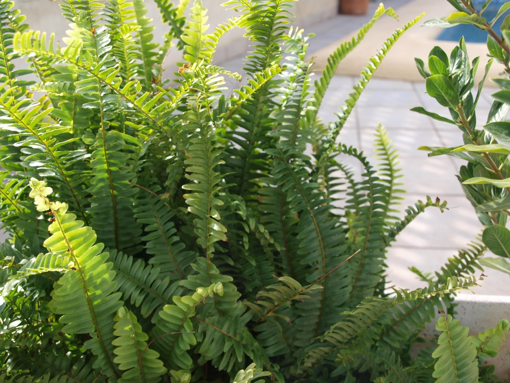 helecho-jardin-2-luciapascual